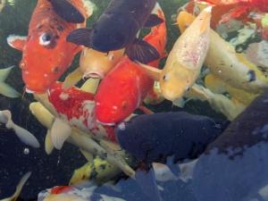 11am - A swarm of Koi fish at the Dallas Zoo.