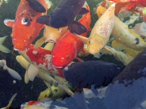 11am - A swarm of Koi fish at the Dallas Zoo.