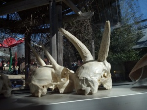 11:30am - Horned skulls in the window of a zoo building.