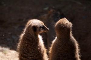 Meerkat buddies.