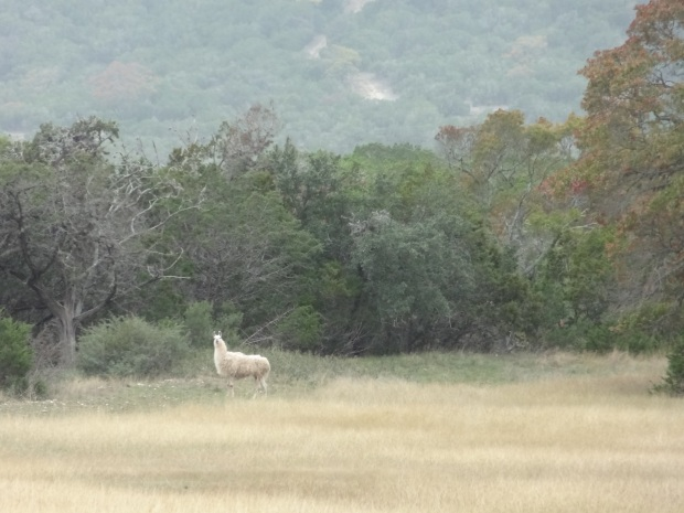 A majestic llama roamed the grounds.